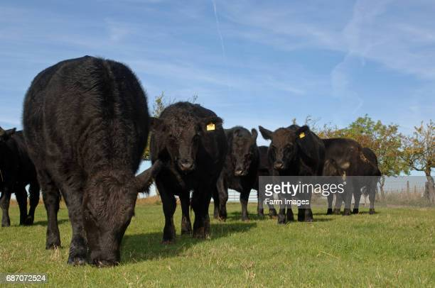 Aberdeen Angus cattle in field early autumn Cumbria