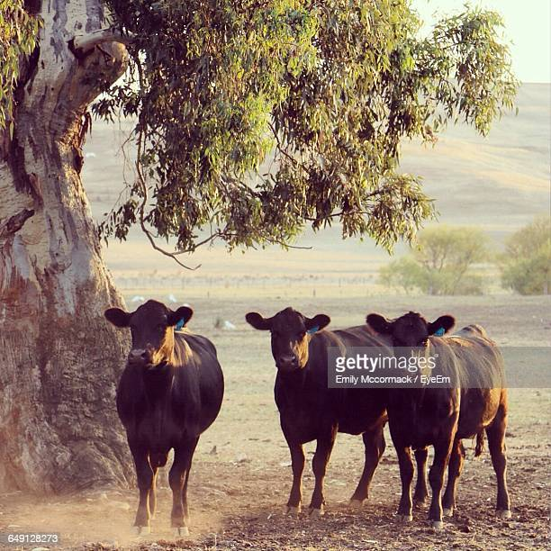 Aberdeen Angus Cattle Standing By Tree On Field