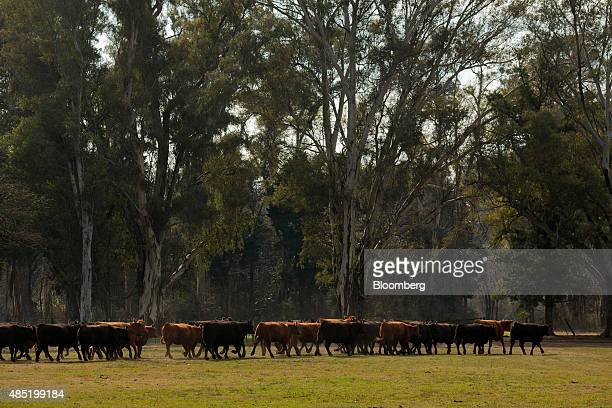 Aberdeen Angus cows are driven between fields on the Estancia La Argentina farm in San Antonio de Areco Argentina on Monday July 27 2015 Argentina...