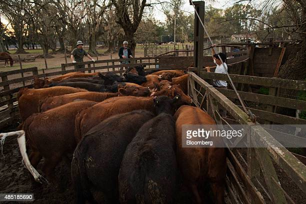 Aberdeen Angus cows are driven into a corral on the Estancia La Argentina farm in San Antonio de Areco Argentina on Monday July 27 2015 On August 29...