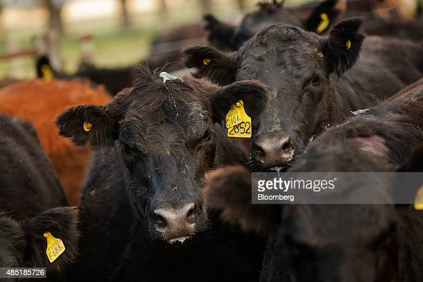 Aberdeen Angus cows are driven into a corral on the Estancia La Argentina farm in San Antonio de Areco Argentina Monday July 27 2015 Argentina can...