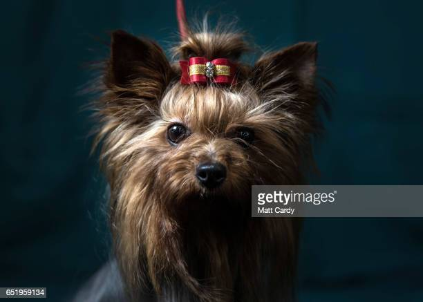 Abfab, a two-year-old Yorkshire Terrier, poses for a photograph on the second day of Crufts Dog Show at the NEC Arena on March 10, 2017 in...