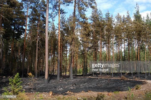 """Abgebrannter Wald für Neu-Aufforstung, Naturdenkmal Nationalpark """"Norra Kvills"""" bei Vimmerby, Smaland, Schweden, Europa, schwarzer Boden, Natur,..."""