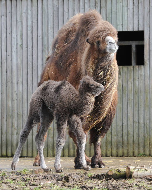 Bactrian Camel Calf Pictures