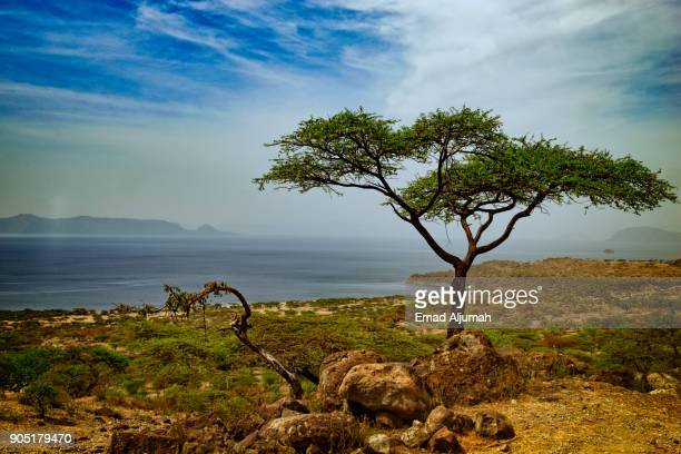 abidjatta-shalla national park, great rift valley, ethiopia - december 10, 2017 - acacia tree stock photos and pictures
