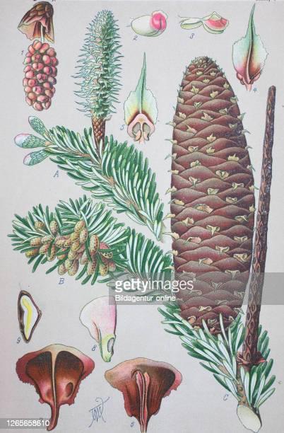 Abies alba, the European silver fir or silver fir, is a fir native to the mountains of Europe / Weiß-Tanne oder Weißtanne, digital improved...