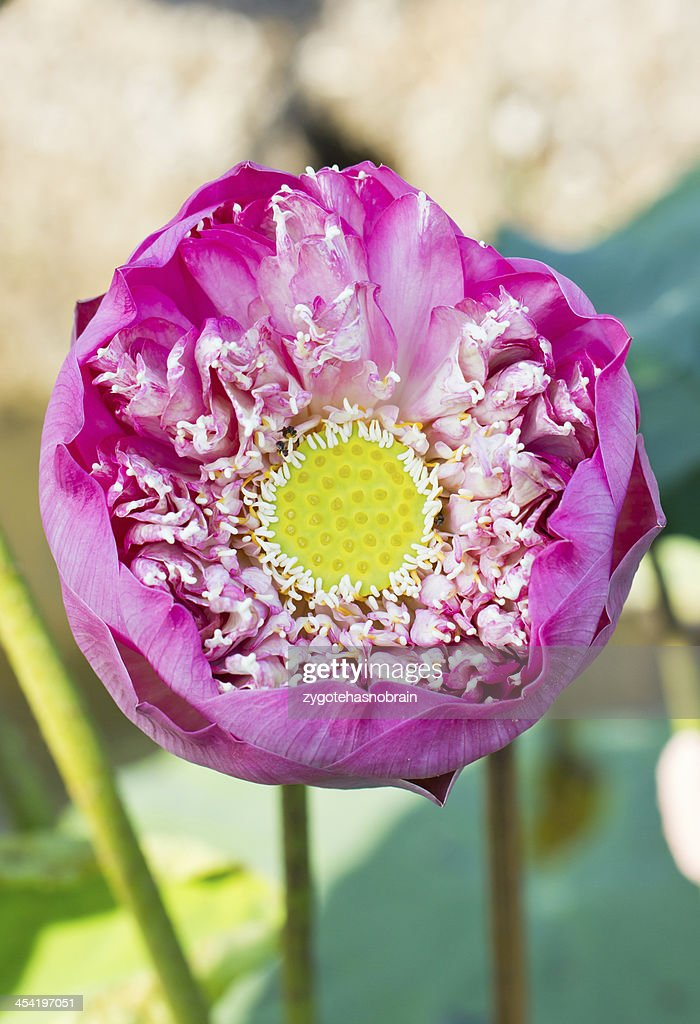 Abloom pink lotus. : Stock Photo