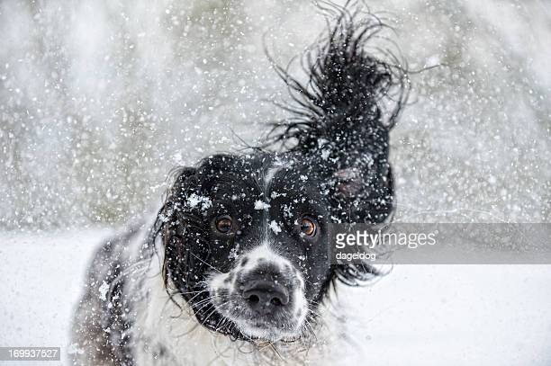 abominable snowdog - spaniel stock photos and pictures