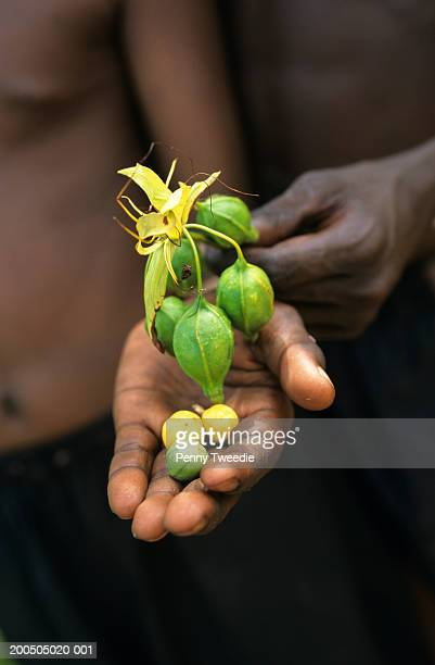 Aboriginal holding flower fruit and seeds of arrowroot  in palm