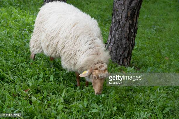 About 400 sheep travel down an avenue in Madrid, during the transhumance of the animals to the Casa de Campo. The sheep travel through the urban area...