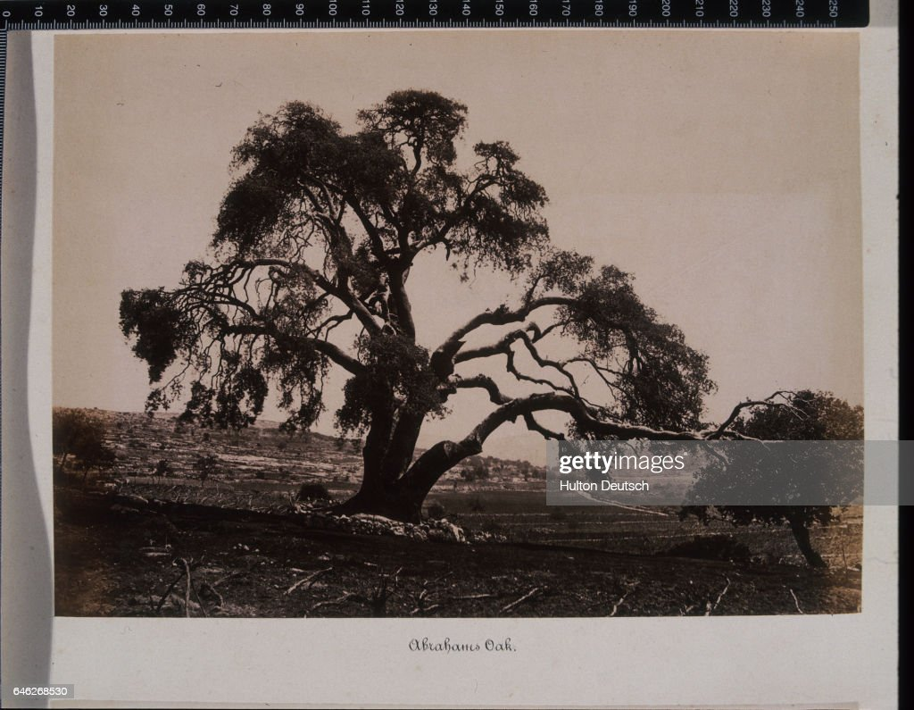The Oak of Mamre, or Abraham's Oak,near Hebron : News Photo