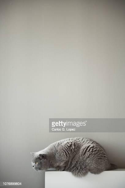 abritish short hair cat sitting on edge of white head board - posizione descrittiva foto e immagini stock