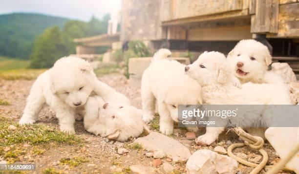 abruzzo shepard puppies in italy - pastore maremmano foto e immagini stock