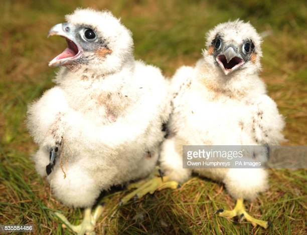 Abseiling wildlife ranger Paul Pickett in Kielder Forest Northumberland dropped in to ring two 25dayold rare peregrine falcon chicks until recently...