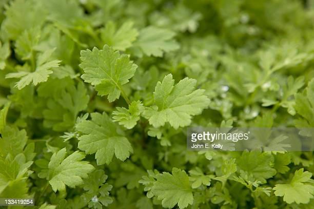 absinthium wormwood herb - artemisia photos et images de collection