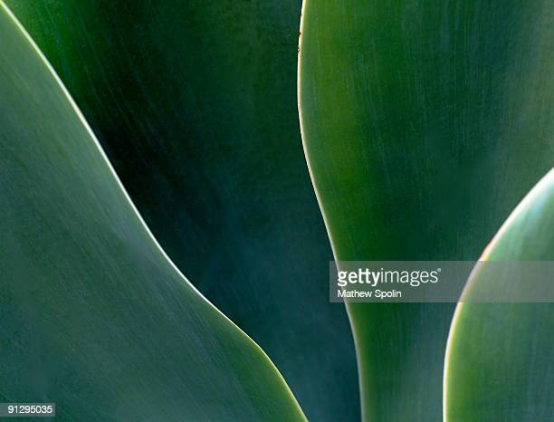 Abstract Agave Leaves
