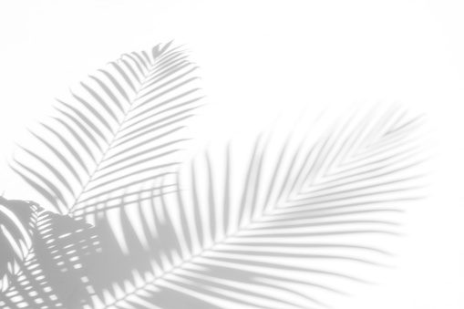 abstract background of shadows palm leaves on a white wall. White and Black 944913850