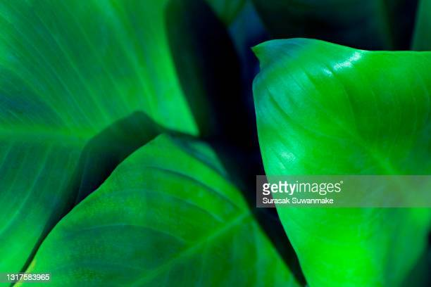 abstract beautiful tropical green foliage focuses only on the leaf edges and dumb curves. - light natural phenomenon stock pictures, royalty-free photos & images