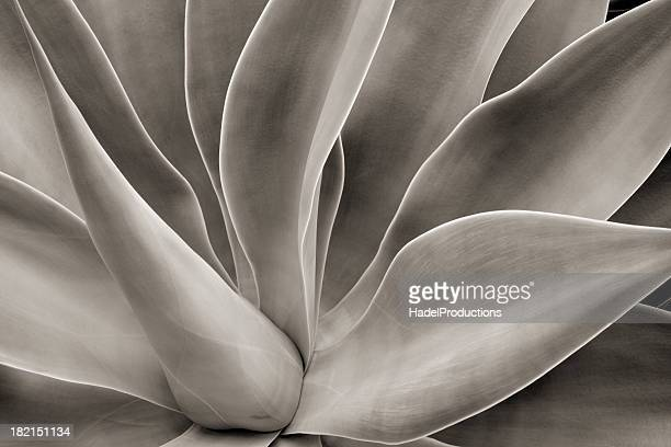 abstract cactus plant - sepia stock pictures, royalty-free photos & images