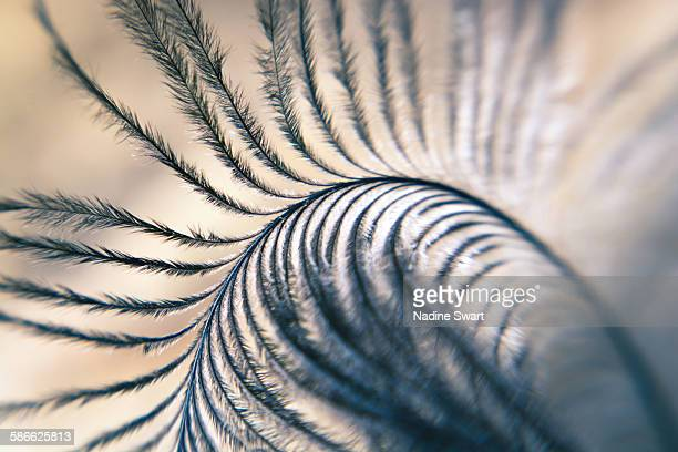 abstract close-up of a ostrich feather - ostrich feather stock pictures, royalty-free photos & images