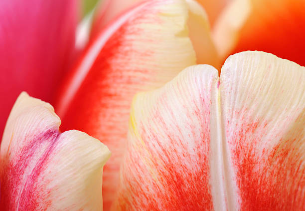 Abstract Colorful Tulips Close Up Selective Focus Foreground