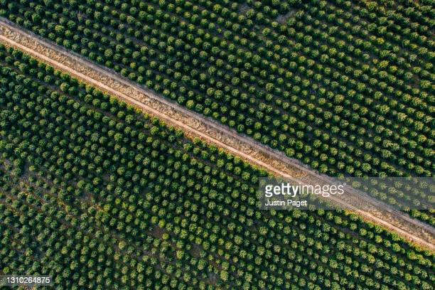 abstract drone view of christmas trees growing in a field - tree farm stock pictures, royalty-free photos & images