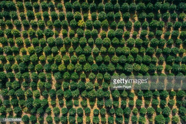 abstract drone view of christmas trees growing in a field - overhead view stock pictures, royalty-free photos & images