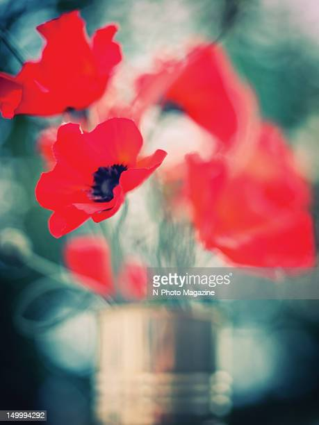 Abstract focus on a bunch of red poppies taken on October 23 2011