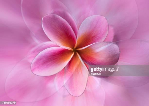 Abstract frangipani flower montage