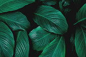 leaves spathiphyllum cannifolium abstract green texture