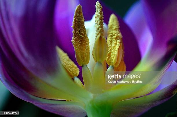 Abstract Image Of Purple Tulip Flower