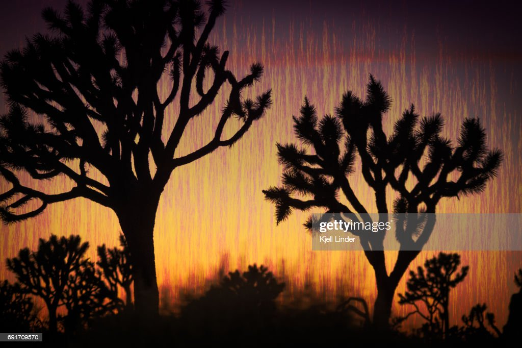 Abstract Joshua Trees at sunset : Stock Photo