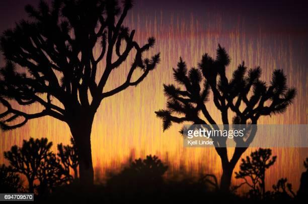 Abstract Joshua Trees at sunset