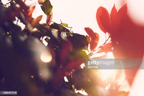 abstract lens flare through red and green leaves - tranquil scene stock pictures, royalty-free photos & images