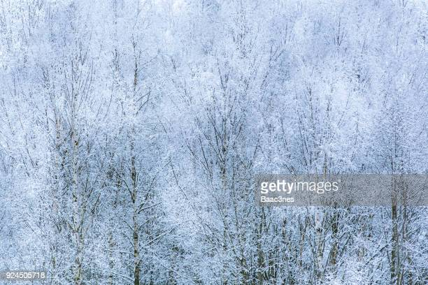 Abstract look - Birch trees covered in frost