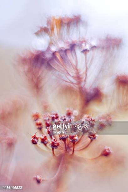 abstract macro bokeh abstract background of dried wildflower in blue pink tone - mort concepts photos et images de collection