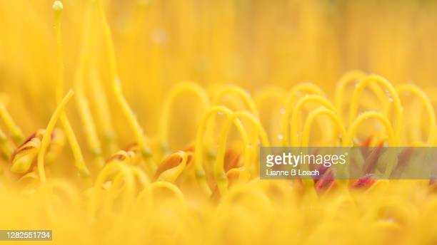 abstract macro image of a silky oak flower on an rare overcast rainy day. rain drops, soft yellow with bits of orange. - lianne loach stock pictures, royalty-free photos & images