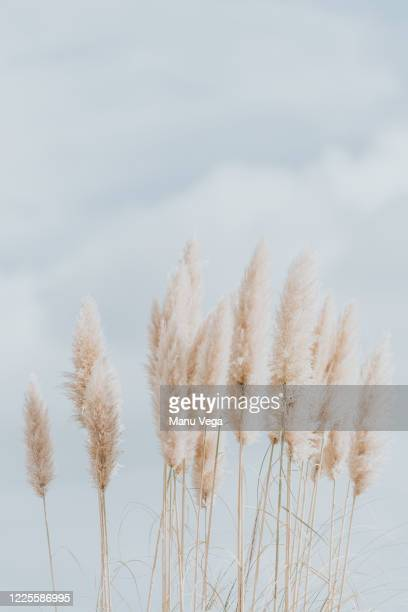 abstract natural background of soft plants pampas grass in the sky - pampa stock-fotos und bilder