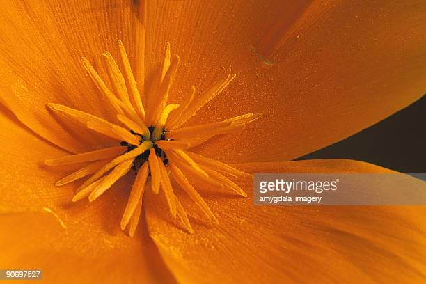 abstract orange flower extreme close up - california golden poppy stock pictures, royalty-free photos & images