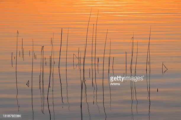 Abstract pattern of common reed silhouettes of stems reflected in water of lake at sunset in spring.