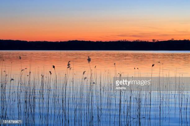 Abstract pattern of common reed silhouettes reflected in water of lake at sunset in spring.