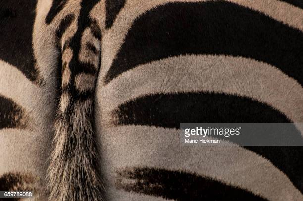 Abstract patterns of a Zebra rear end with it's tail