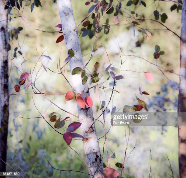 Abstract patterns of branch and leaf of Eucalyptus tree in Summer