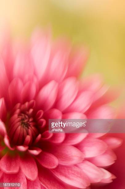Abstract Pink Chrysanthemum Soft Focus