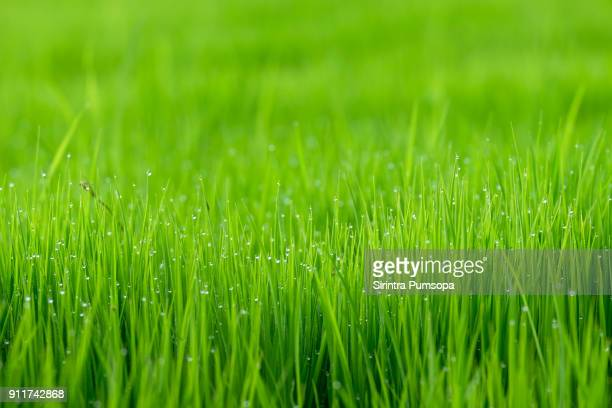 Abstract spring natural background of green rice and grass close up with water drop bokeh in morning