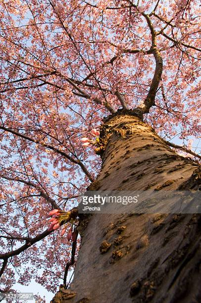 Abstract View Up the Trunk Full Bloom Cherry tree