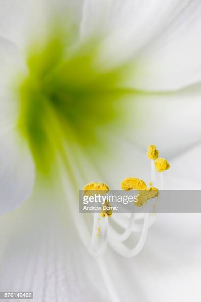 Abstract white lily