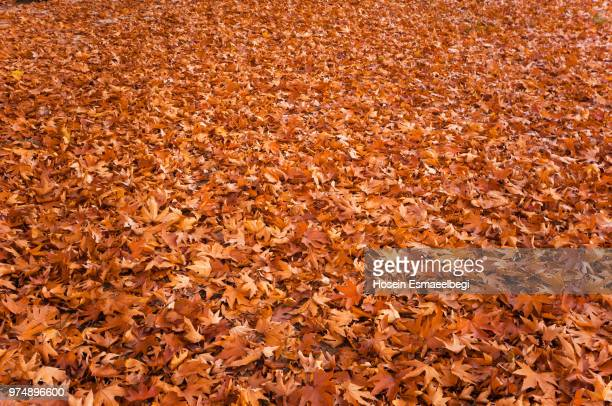 abundance of autumn leafs - autumn leaf color stock pictures, royalty-free photos & images