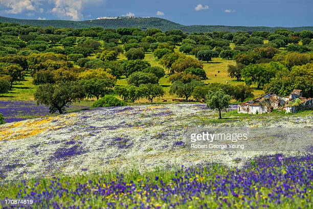abundance of multicoloured wildflowers & cork oaks - cork tree stock photos and pictures