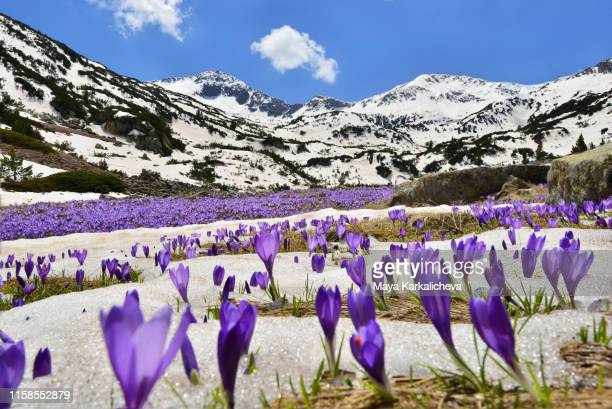 abundance of purple crocuses in mountain valley - pirin national park stock pictures, royalty-free photos & images